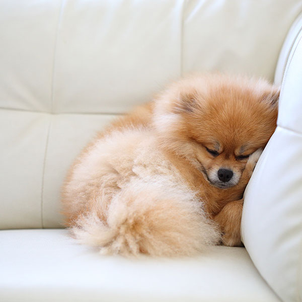 Pomeranian sleeping