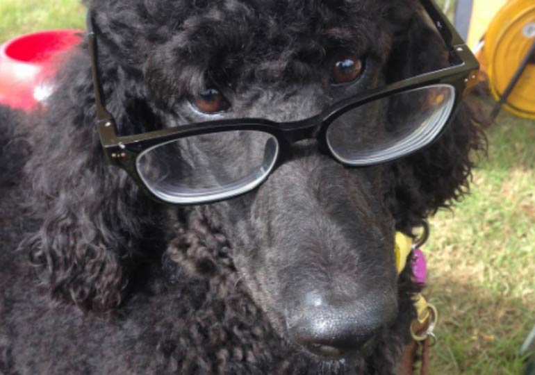 poodle with glasses
