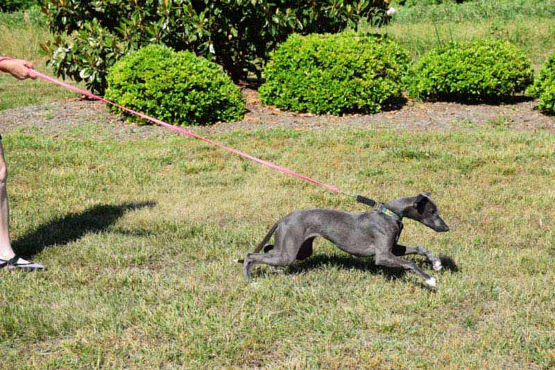 Managing Your Lunging Barking Dog A 3 Week Reboot To Get You On