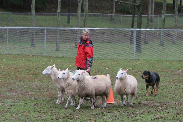 Rottweiler herding