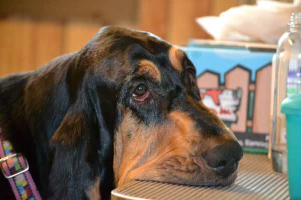 Bloodhound sad eyes