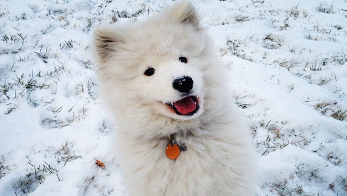 9 Versions Of The Samoyed Smile That Are Beyond Adorable American Kennel Club
