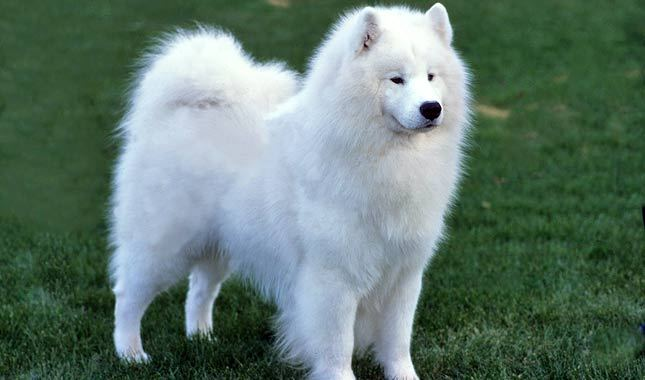 Big White Fluffy Dog Puppy
