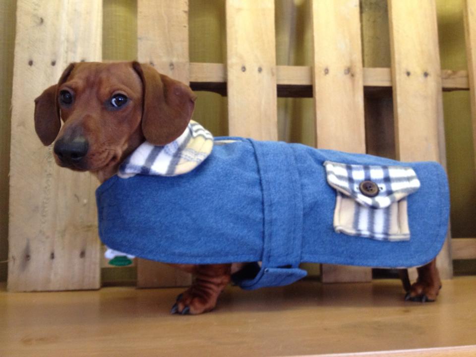 savvy dachshund