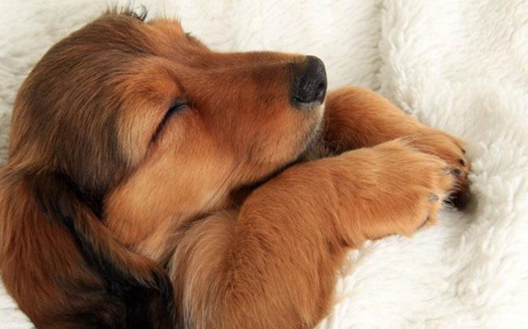 Do Dogs Dream American Kennel Club