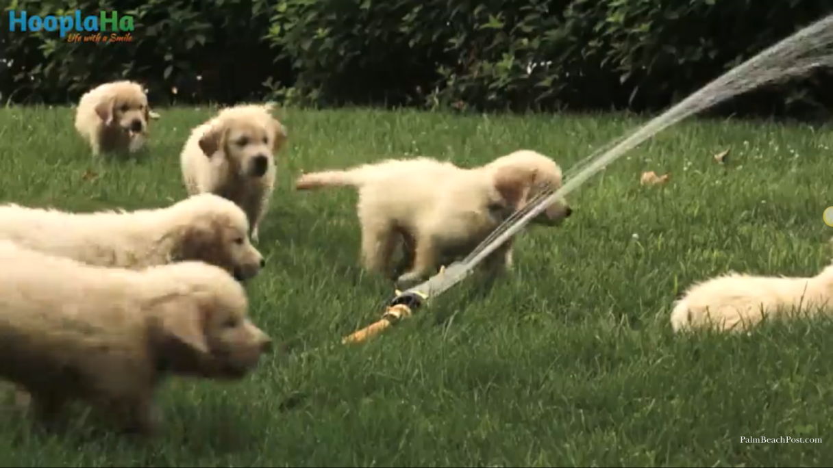 pack of puppies enjoying a sprinkler is priceless american kennel club