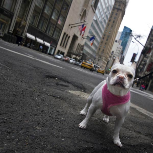 Little dog in the city