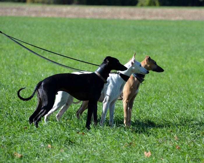Photo: AKC Breeder of Merit Donna Miner, Domino Whippets
