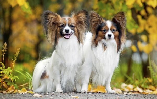 Canine papillion friends