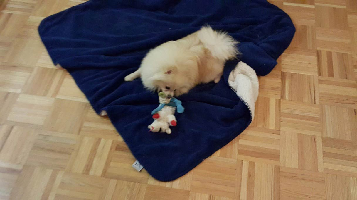 pomeranian two toys