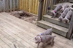Man Lets 8-Week-Old Puppies Outside—What They Do Is Remarkable - thumbnail