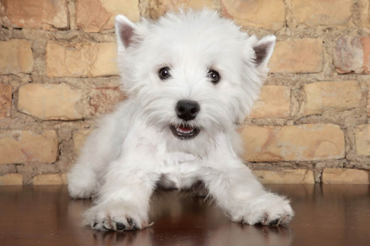 5 Ways That The Westie Is Really A Big Dog In A Little Dog\'s Body ...