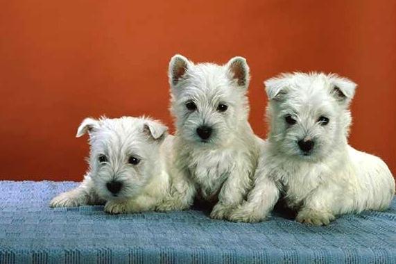 two westie pups