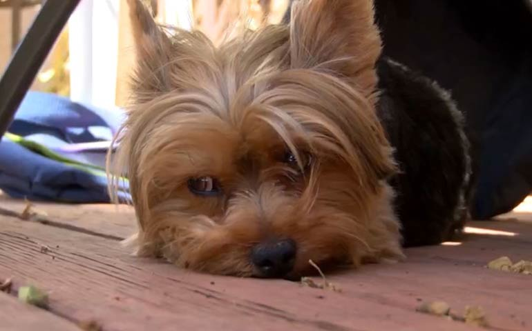 A Chorkie - A Chihuahua Yorkshire Terrier Mix fajta - Referencia