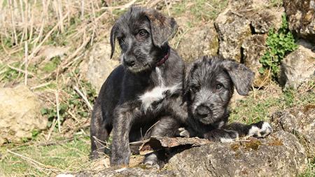 Dos perros lobo irlandeses