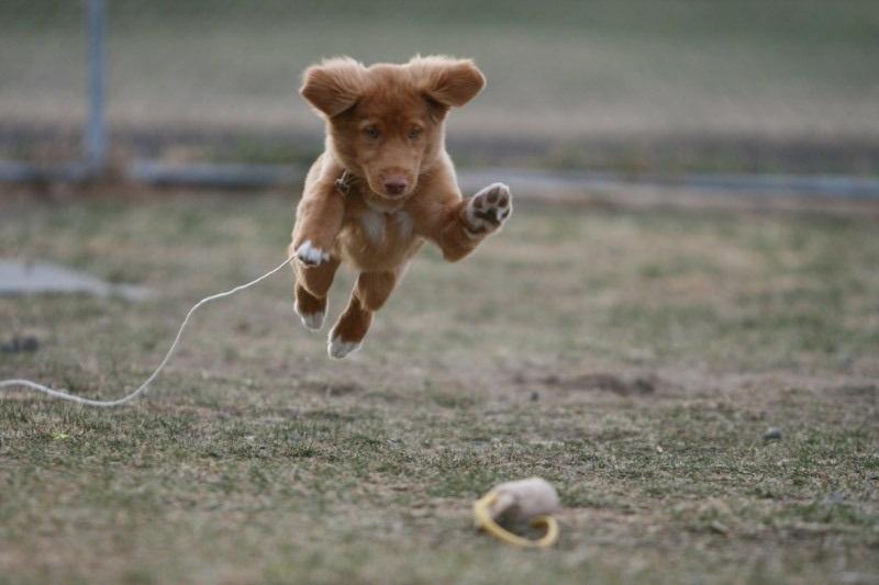 Perro perdiguero de peaje de pato motivado
