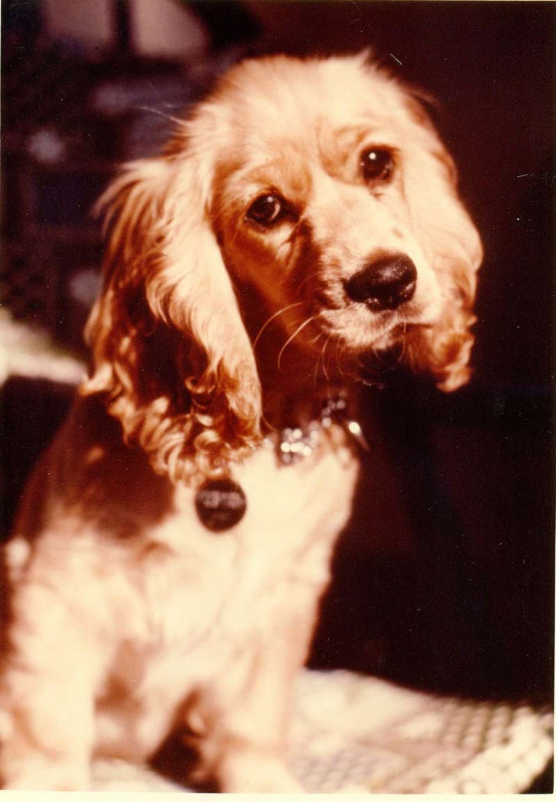 cocker spaniel origin cocker spaniel history training temperament american 863