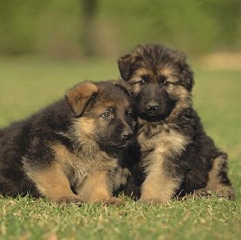 Cachorros de pastor alemán
