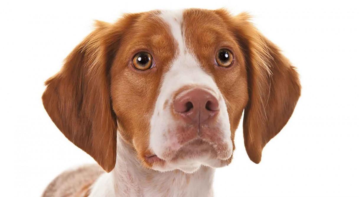 Brittany Dog Breed Information - American Kennel Club
