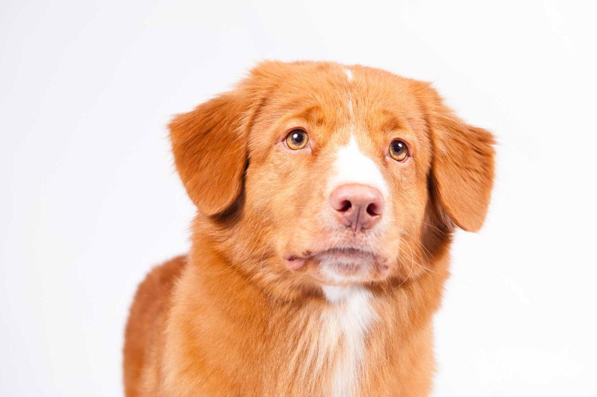 Nova Scotia Duck Tolling Retriever Dog Breed Information