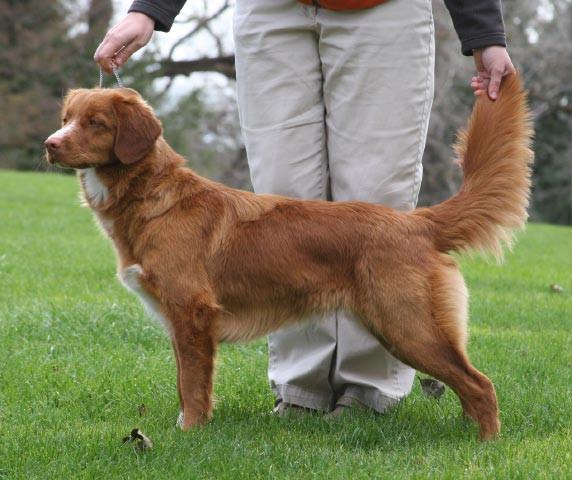 Perro perdiguero de peaje de pato de abrigo rojo de Karat