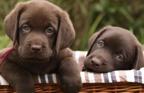 Cachorros de laboratorio