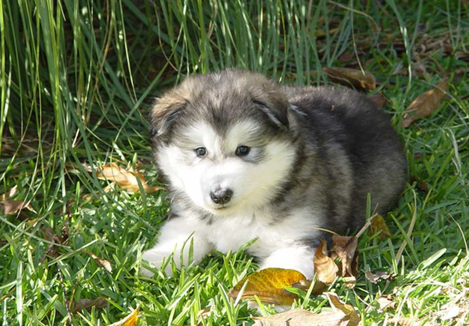 malamute dogs for sale