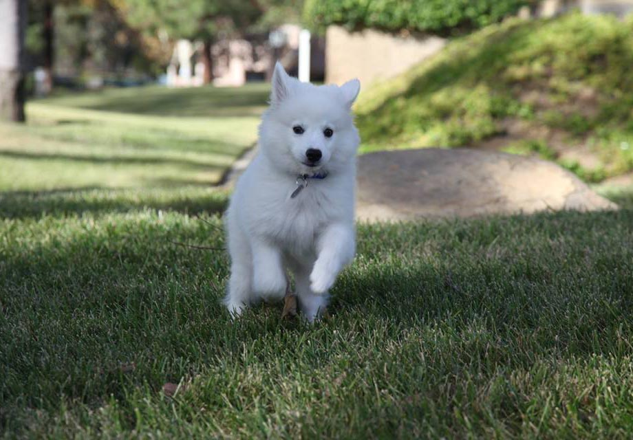 Pictures Of American Eskimo Akc Dog Breeds