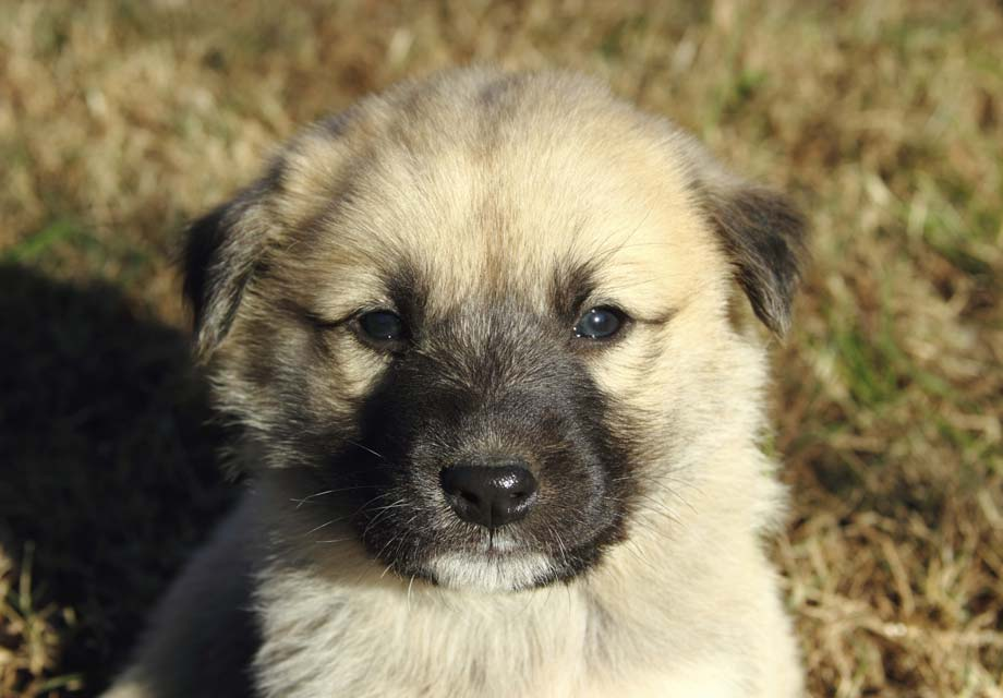 Anatolian Shepherd Dog Puppies For Sale - AKC PuppyFinder