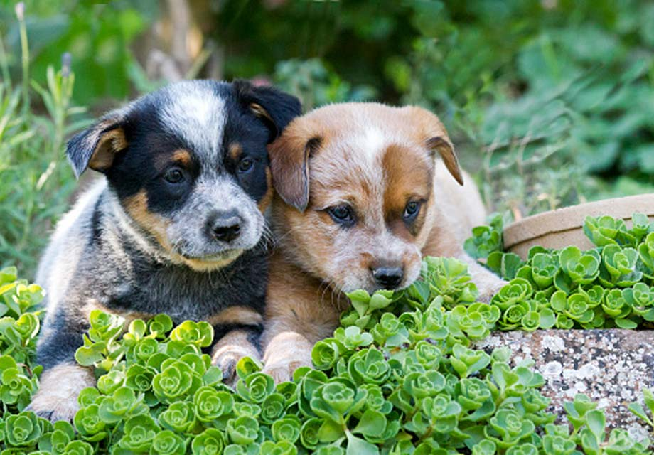 Australian Cattle Dog Puppies For Sale - AKC PuppyFinder