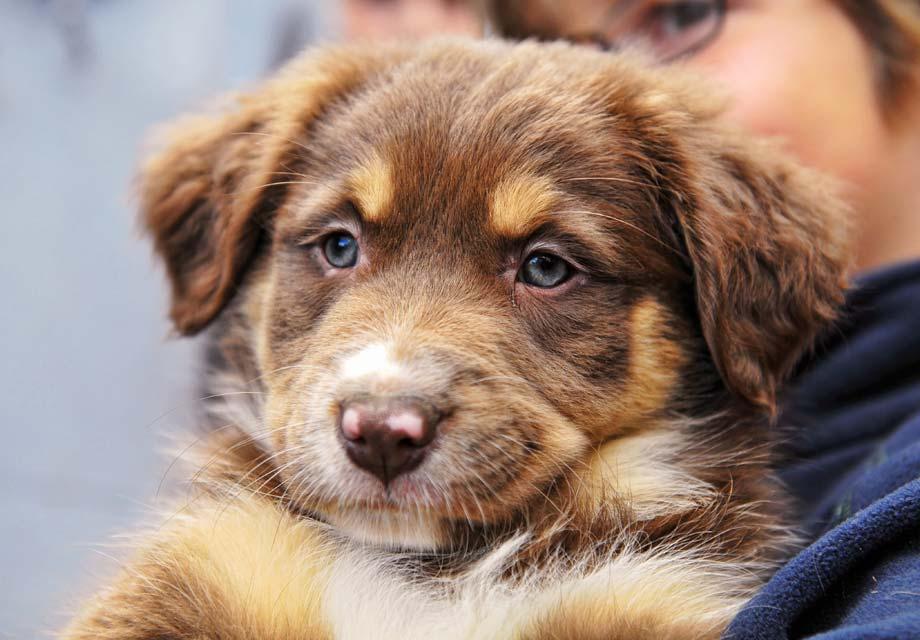 Australian Shepherd Aussie Puppies For Sale Akc Puppyfinder