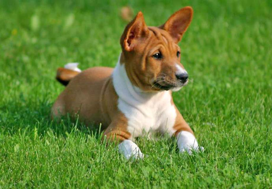 French Dog Breeds