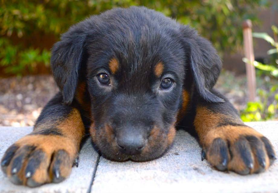 Beauceron Puppies For Sale Akc Puppyfinder