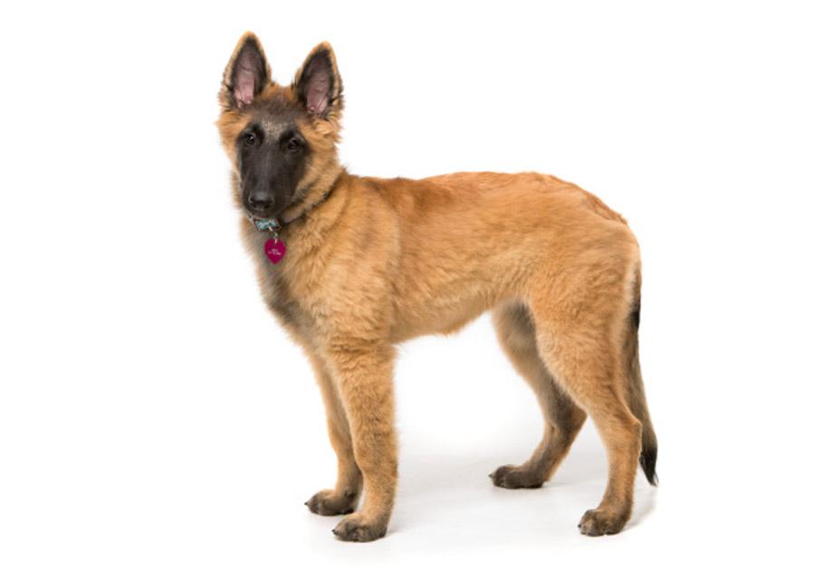 Belgian Malinois Dog For Sale