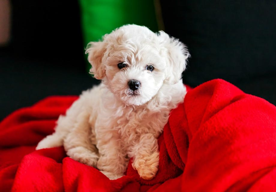 Bichon Frise Puppies For Sale - AKC PuppyFinder