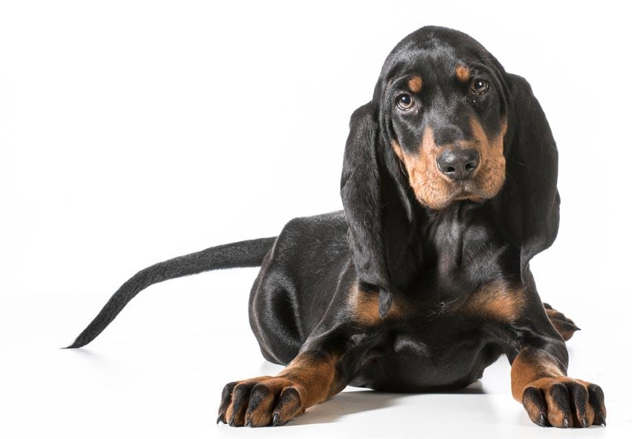 Redbone Coonhound Puppies For Sale Akc Puppyfinder