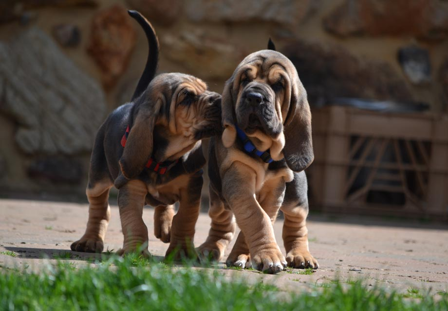 Bloodhound Puppies For Sale - AKC PuppyFinder