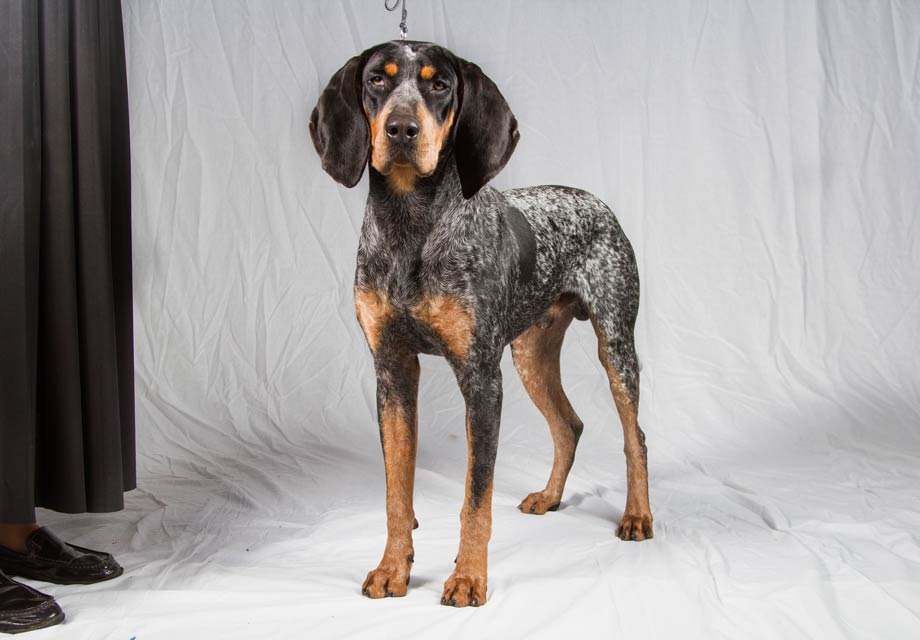 blue tick hound for sale