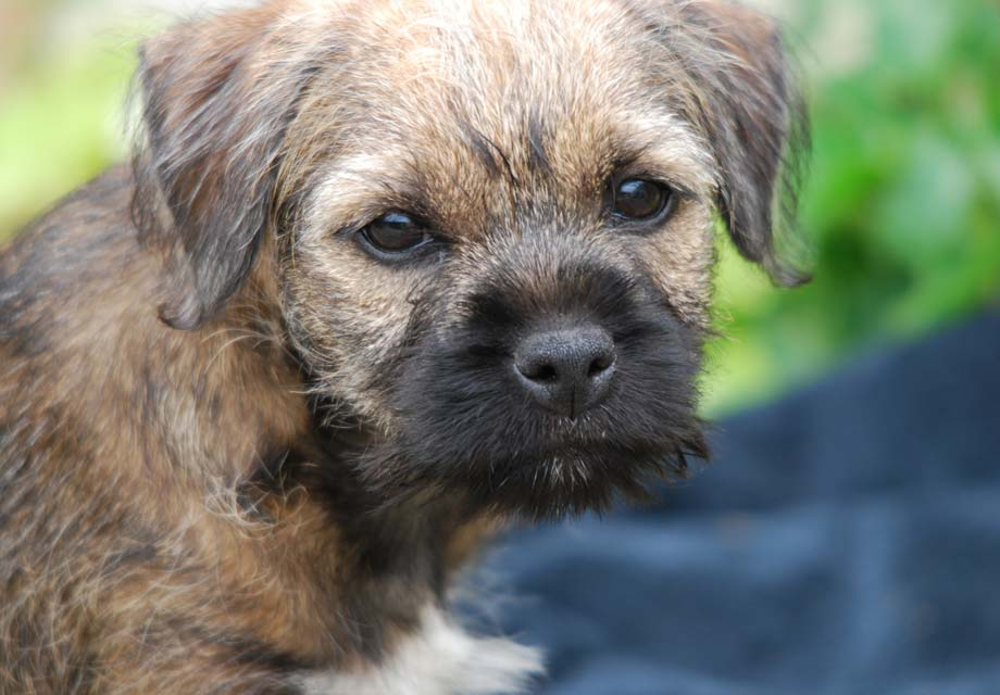 Border Terrier Puppies For Sale - AKC PuppyFinder