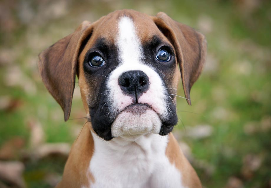 Boxer Puppies For Sale Akc Puppyfinder