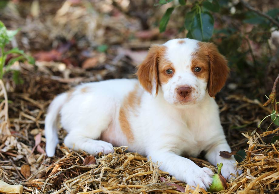 Brittany Puppies For Sale - AKC PuppyFinder