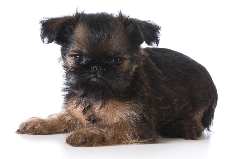 Brussels Griffon Puppies For Akc