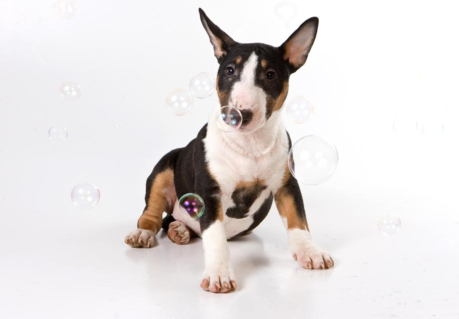 Bull Terrier Puppies For Sale Akc Puppyfinder