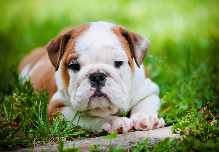 Bulldog Puppies For Sale - AKC PuppyFinder