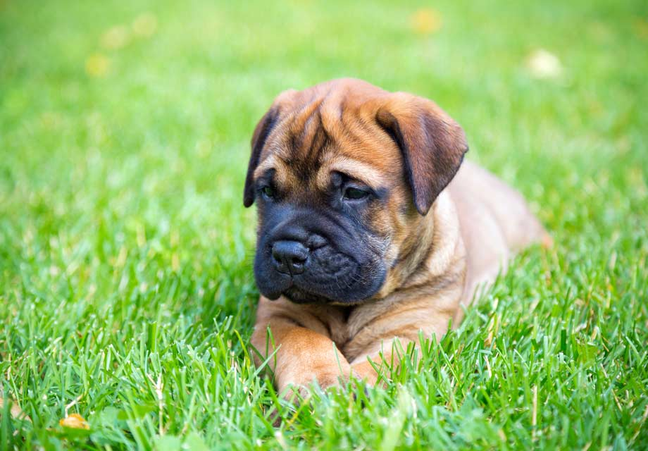 Bullmastiff Puppies For Sale Akc Puppyfinder