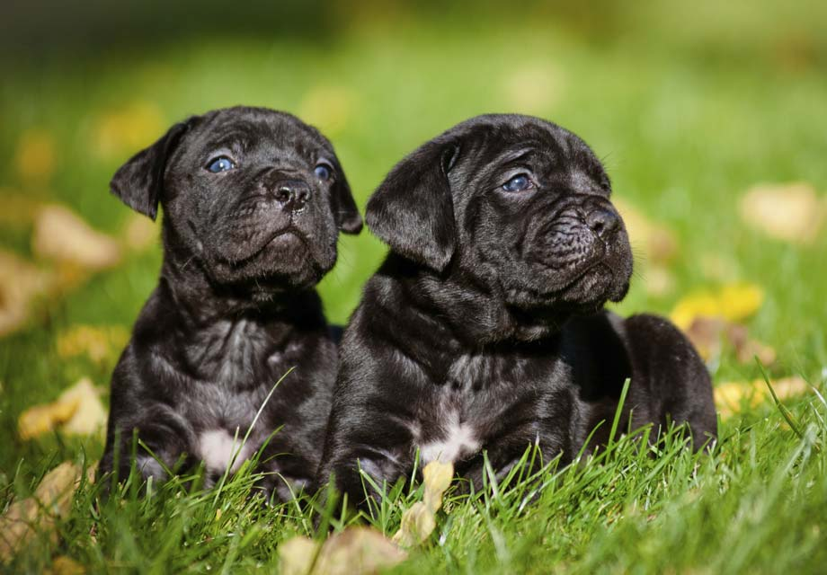 Cane Corso Puppies For Sale Akc Puppyfinder