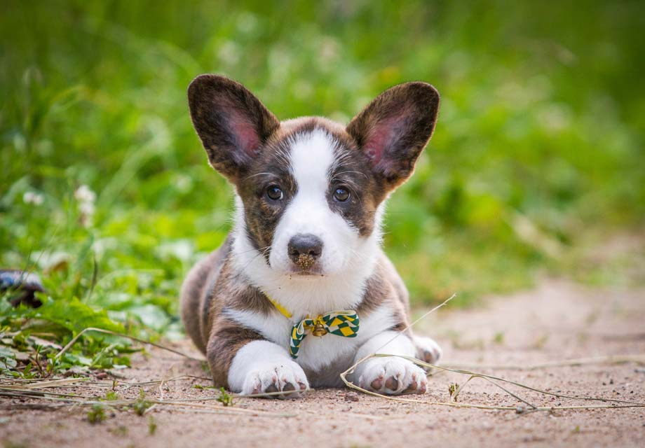 Cardigan Welsh Corgi Puppies For Sale Akc Puppyfinder