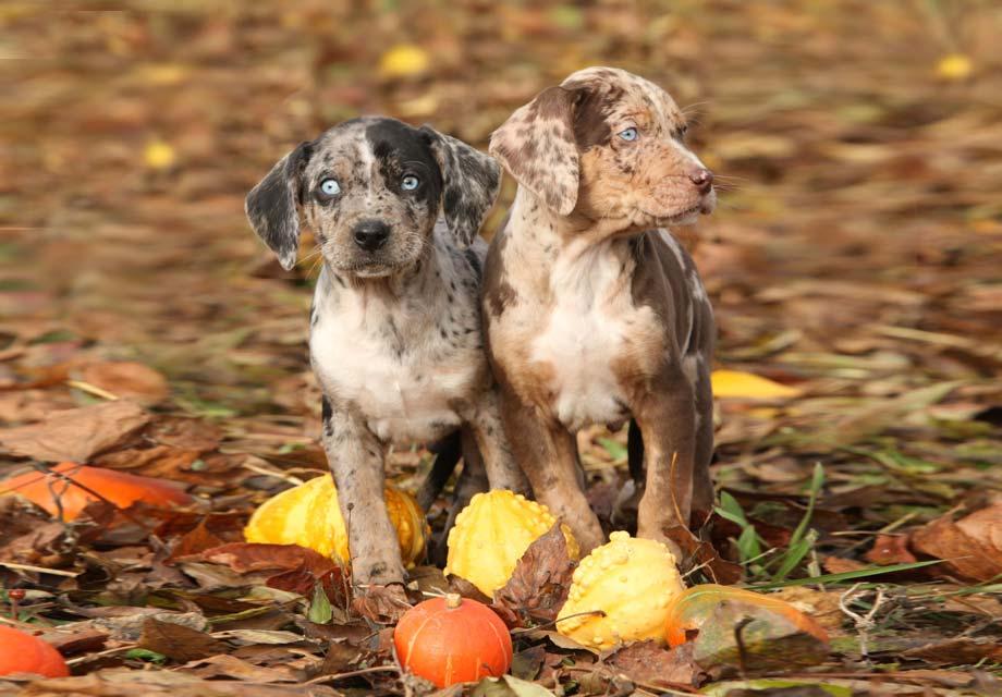 Catahoula Leopard Dog Puppies For Sale Akc Puppyfinder