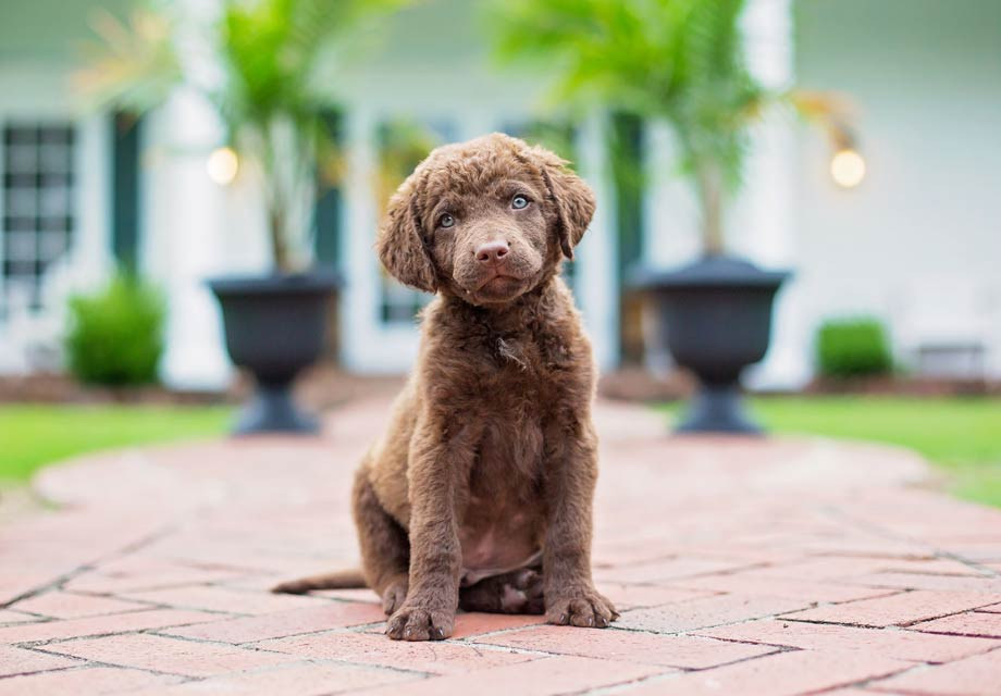 Chesapeake Bay Retriever Puppies For Sale - AKC PuppyFinder