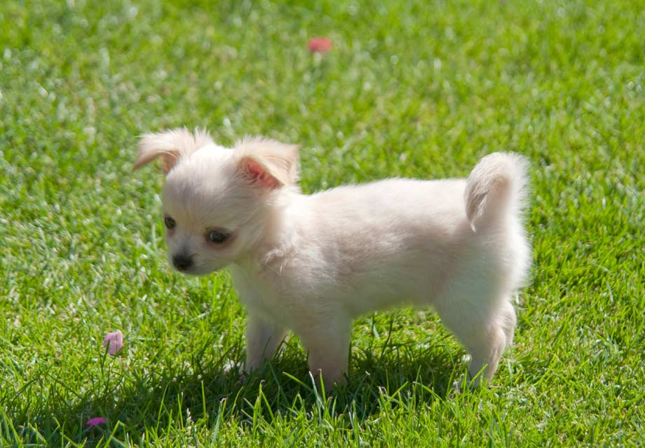All Teacup Dog Breeds